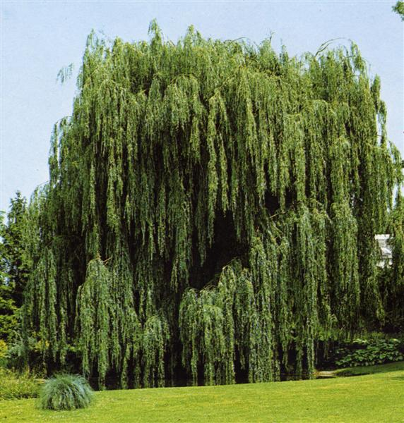 Schede botaniche - Foto di alberi da giardino ...